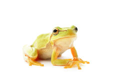 Tree frog. Green tree frog  on white background Stock Photos