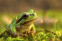 Tree Frog. Sitting on the moss on the ground Stock Photo