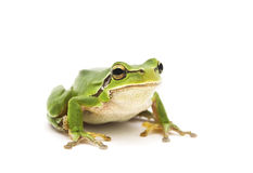 Tree frog. Green Tree Frog isolated on white background. Shallow DOF