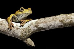 Tree frog. Hypsiboas geografica sitting on a branch in the bolivian rain forest, amphibians are mainly nocturnal and many species are endangered and need Stock Photos