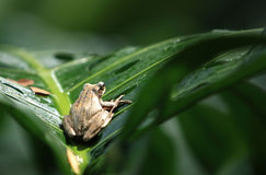 Tree Frog. On a palm leaf stock photos