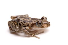 Free Tree Frog Royalty Free Stock Photos - 1560818