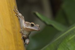 Tree frog. Royalty Free Stock Photography