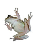 Tree frog. Green tree frog isolated on white bottom view Stock Photography