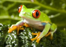 Free Tree Frog Royalty Free Stock Photo - 1890625