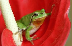 Tree-frog Stock Photos