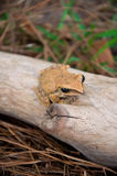 Tree Frog. Close Up of a Frog on a Branch royalty free stock photo