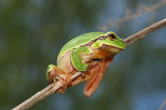 Tree frog. Green tree frog on the branch royalty free stock image