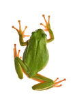 Tree_frog Royalty Free Stock Photo