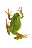 Tree_frog royalty-vrije stock foto