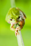 Tree_frog Stock Photo