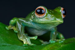 Tree frog. Madagascar tree frog / Boophis luteus Stock Images