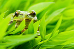 Tree_frog Stock Photography