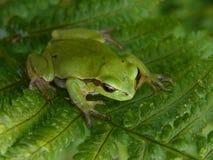 Tree Frog Royalty Free Stock Photo