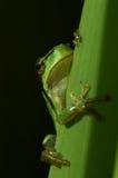 Tree-frog Royalty Free Stock Photo