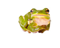 Tree frog Stock Photos