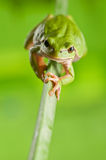 Tree_frog Royalty Free Stock Images
