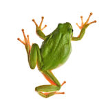 Tree_frog Royalty Free Stock Photography