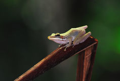 Tree frog. Beautiful tree frog stay on branches royalty free stock photo