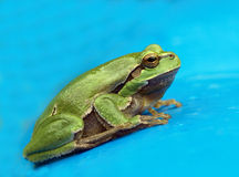 Tree-frog Stock Photo