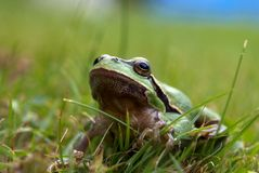 Tree-frog Stock Photography