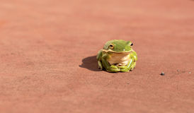 Tree frog. A small green tree frog suns on a deck Stock Photo