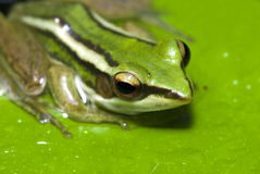 Tree frog Stock Photo