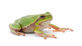 Tree frog Stock Image