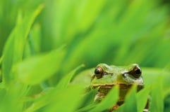 Tree_frog Stock Photo