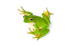 Free Tree Frog Royalty Free Stock Image - 32864526