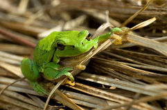 Tree-frog Royalty Free Stock Image