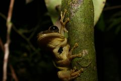 Tree frog. Tropical Tree frog, Oriente, Ecuador Royalty Free Stock Photo