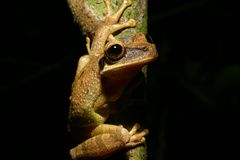 Tree frog. Tropical Tree frog, Oriente, Ecuador Royalty Free Stock Image