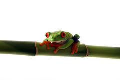 Tree Frog. Red-Eyed Tree Frog perching on  bamboo and isolated on white background Royalty Free Stock Photo