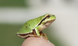 Tree frog. Green tree frog on a finger Stock Images