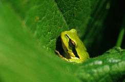 Tree-frog Stock Image