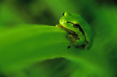 Tree-frog Royalty Free Stock Photography