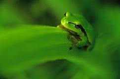 Tree-frog. (Hyla arborea royalty free stock photography