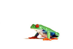 Tree Frog. Colorful Red-Eyed Tree Frog isolated on white background Royalty Free Stock Photos