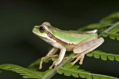 Tree Frog Royalty Free Stock Image