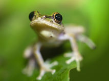 Tree frog Royalty Free Stock Photography