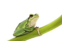 Tree frog. Green Tree Frog on green branch isolated on white background. Shallow DOF Stock Photos
