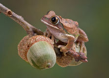 Tree Frog on Acorns Royalty Free Stock Image