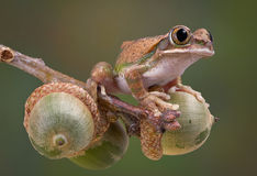 Tree frog on acorns Stock Images