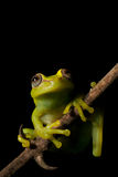 Tree frog amazon tropical rainforest amphibian. Tree frog Hypsiboas cinerascens in the Bolivian rain forest black background with copy space tropical rainforest Royalty Free Stock Image