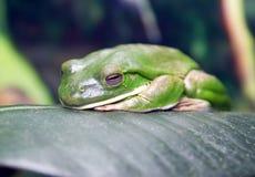 Tree frog amphibian    australia  large green. Tree frog amphibian    australia tailless sucker large green Royalty Free Stock Photos
