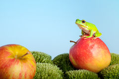 Tree frog on apple. White-lipped tree frog or Litoria Infrafrenata Stock Images