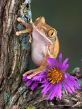 Tree frog with aster. A big-eyed tree frog is sitting on a branch with aster flowers Stock Image