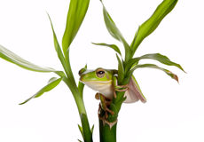 Tree frog on bamboo Stock Photography