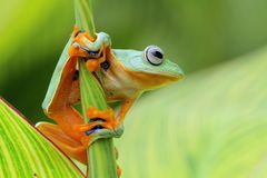 Flying frog on the branch. Tree frog, beautiful flying frog on branch Stock Images